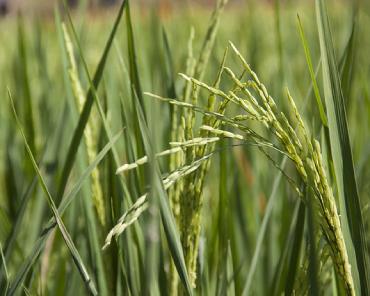 Primo piano di una spiga di riso verde, in fase di maturazione, circondata da altri steli, sullo sfondo di un campo di riso.