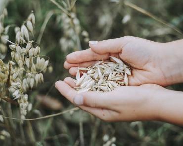 Primo piano di semi di avena senza glutine raccolti nei palmi di due mani femminili unite, sullo sfondo di altre piante di un campo di avena.